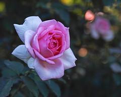 2018 Autumn rose (shinichiro*) Tags: 20181102sdim6790 2018 crazyshin sigmasdquattroh sdqh sigma1770mmf284dcmacrohsm november autumn yokohama 横浜イングリッシュガーデン rose flower macro 45144181365 4342249 201901gettyuploadesp