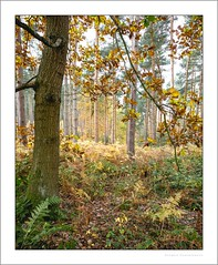 Into the forest (G. Postlethwaite esq.) Tags: derbyshire nationalforest robinwood autumn bracken ferns landscape outdoor photoborder trees wood