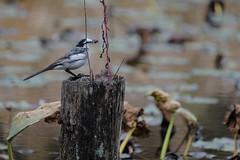 DSCF6393 (jojotaikoyaro) Tags: bird animal nature wildlife suginami tokyo japan fujifilm xh1 xf100400mm