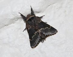 Photo of December Moth (Poecilocampa populi)