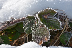 DSC_3206 (griecocathy) Tags: macro neige gelée végétations ronce feuille blanc vert orange jaune rougeâtre