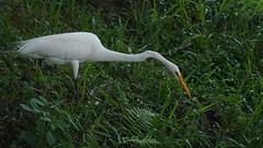 Garça-branca-grande (Ardea alba) (Daniel Raventós P.) Tags: garã§abrancagrande ardeaalba garã§a garçabrancagrande garça