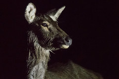 Step into the light deer (Tim Melling) Tags: sambar deer rusa unicolor sichuan china timmelling night time side light