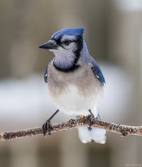 Blue Jay (Melissa M McCarthy) Tags: bluejay jay bird animal nature outdoor wildlife wild cute perched portrait mountpearl newfoundland canada canon7dmarkii canon100400isii