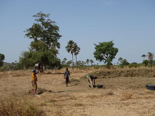 Dans les champs, les femmes trient les graines d'arachide à l'aide du vent