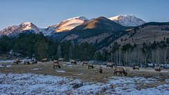 Boys of Fall (RkyMtnGrl) Tags: elk bulls antlers testosterone valley mountains peaks light wildlife snow fall autumn boysoffall horseshoepark rmnp rockymountainnationalpark colorado 2018