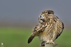 Short-eared Owl - Coruja-do-nabal (anpena) Tags: birds birdsofprey owls birdphotography shortearedowl