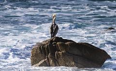 Pelican Monterey 7554 (Del Hoffman-Thx 25,510,000 Views) Tags: pelican monterey pebblebeach d810 nikon nikon200500 bird
