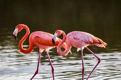 Flamingos in Celestun (Globalbirder) Tags: gulfofmexico mexico yucatan campeche travelphotography pictravelvacationfernwehgulfofmexiconatureyucatan