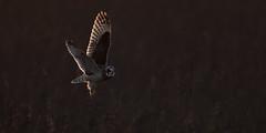 Owl in sunset (Ann and Chris) Tags: owl shortearedowl sunset nature wildlife bird beautiful