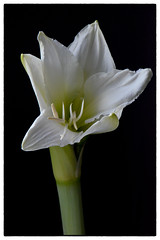 Amaryllis (maurizio.difederico) Tags: fiori natura macro