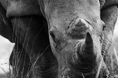 Don't come in my way (pranav_seth) Tags: africa klaserie rhino big5 safari southafrica nature wildlife wildafrica untamed underthreat extinction poaching rhinoceros
