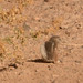 White Tailed Antelope Squirrel
