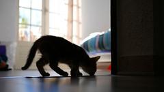 Hunter (An Arzhig) Tags: chaton cat kitty contre jour pet panasonic lumix gx800 50mm