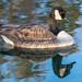 A Canada goose, in deuce