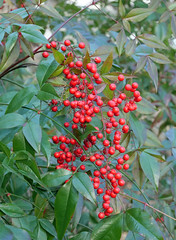 red berries (foxtail_1) Tags: g9 panasonicg9 lumixg9 hahnhorticulturegarden hahngardens hahngarden redberries heavenlybamboo nandinadomestica