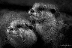 Otters (JKmedia) Tags: newquayzoo otters boultonphotography 2019 bw
