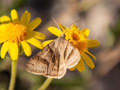 moth (apmckinlay) Tags: animals flowers insects moths nature plants bigbendnationalpark texas unitedstates us