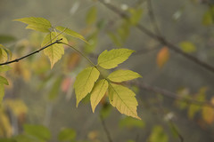 Feuilles et brume ***-- ° (Titole) Tags: leaf leaves titole nicolefaton yellow mist storybookwinner thechallengefactory