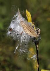 Milkweed seeds. (Gillian Floyd Photography) Tags: milkweed seed pod fall