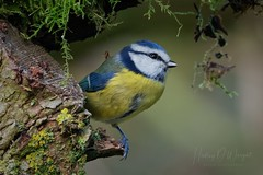 Blue Tit (hedley_wright) Tags: bird wildlife nature farm suffolk england uk