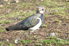 Northern Lapwing, Slimbridge Wetland Centre, Gloucestershire, 15th November 2018 (john.grearson) Tags: lapwing taxonomy:binomial=vanellusvanellus