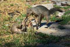 DSC00196 (philliphalper) Tags: namutoni etosha nimabia bandedmongoose