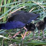 Purple Swamp Hen & Chicks thumbnail