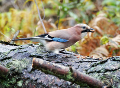 Jay (eric robb niven) Tags: ericrobbniven dundee jay scotland wildlife wildbird nature springwatch