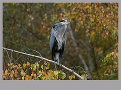 Flickr--2018-11-13-3718.jpg (frankpaliphotography) Tags: wetland nature water day standing one background ardea animal leg park blue wild great feathers gray grey bird heron outdoors animals tree wildlife herodias wading