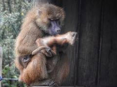 Not quite got the hang of it. (Simply Sharon !) Tags: baboon primate animal yorkshirewildlifepark