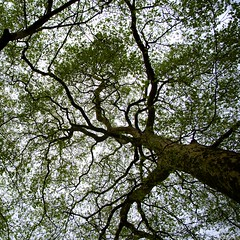Pulmonaire (Atreides59) Tags: london londres england angleterre nature arbre tree ciel sky green vert pentax k30 k 30 pentaxart atreides atreides59 cedriclafrance