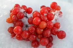 Ягодки на снегу! (Angelok-Happy) Tags: снег пушинки ягодки калина зимаwinter viburnumberries snow fluff snowflakes