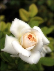 (Tölgyesi Kata) Tags: blossom rosen rosa rosier rose rózsa withcanonpowershota620 füvészkert botanikuskert botanicalgarden summer nyár whiteflower fleur virág budapest