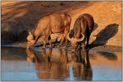 180921-1449 TWO AFRICAN BUFFALO AT A WATERHOLE (28HR) Tags: travel africa kenya safari tsavo west kilaguni serena wildlife african buffalo