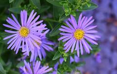 July in the Garden (Mark Wordy) Tags: mygarden flowers asters