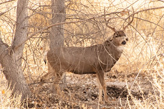 Bosque Trip on 1:14:19 (phicks172) Tags: bosquetripon11419 dsc3827 bosquedelapache muledeer mammal deer nature nm usa