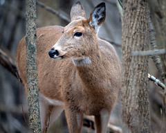 Watcher (jmishefske) Tags: wehr december d850 wildlife nikon doe whitetail nature wisconsin deer center park milwaukee 2018 franklin whitnall