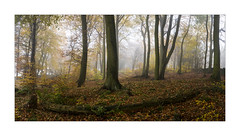 AUTUMN BEECH (Neil Shaw Images) Tags: