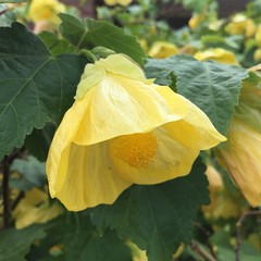 Chinese lantern flowers (abutilon) are a big favourite of mine, we always had them in the garden when I was growing up. (sallysetsforth) Tags: abutilon yellow flower