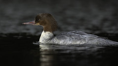 Goosander female (Thomas Winstone) Tags: ebbwvale wales unitedkingdom gb goosander canonuk canon 300mm28mk2 birds aves uk bird outdoors wildlife nature wildbirds wetlands waterbirds countryside outdoor avian 3lt my3leggedthing thomaswinstonephotography bbc springwatch bbcspringwatch nationalgeographic water flash