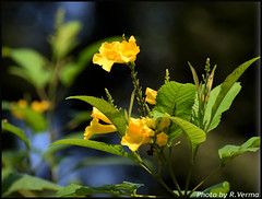 Flower (Verma Ruchi) Tags: flower yellow leaves