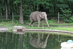 Bronx Zoo (iv) (sarah-sari19) Tags: june summer outside outdoors nyc newyork bronxzoo zoo animals wildlife nature elephant gray grey trunk reflection