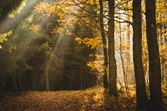 Rays of light (hjuengst) Tags: autumn herbst herbstfarben fall fallcolors lichtstrahlen raysoflight sunbeam sunrays tree bäume forest foliage volnsberg siegen
