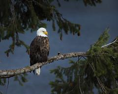 Bayview Idaho Bald Eagle (Fat Sun) Tags: bayview eagle idaho north winter bald lake pend oreille outside new bird