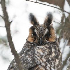 ''Lapin-Hibou!'' Moyen-duc-long-eared owl (pascaleforest) Tags: oiseau bird animal passion nikon nature wild wildlife faune québec canada automne owl hibou r