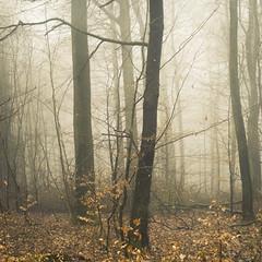 Winter Gold (Netsrak) Tags: baum eu europa europe forst januar january landschaft natur nebel wald fog forest landscape mist nature tree trees winter woods bäume