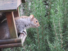 Friday, 21st, Look out IMG_0913 (tomylees) Tags: essex morning winter december 2018 21st friday garden greysquirrel