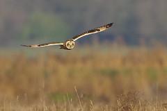 K32P2265a1 Short-eared Owl, Burwell Fen, December 2018 (bobchappell55) Tags: burwellfen cambridgeshire nationaltrust wild bird wildlife nature