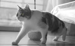 En action (Logjrom) Tags: cats chat blackandwhite noirblanc noiretblanc nb sony sonya7 50mmf18 action instinct eyes yeux
